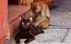 A monkey massaging a stray cat on a pavement in Kuala Lumpur, Malaysia. Picture: Romain Mattei/Barcroft Media    telegraph.co.u