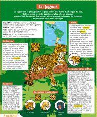 Le jaguar - Mon Quotidien, le seul site d'information quotidienne pour les 10-14 ans !