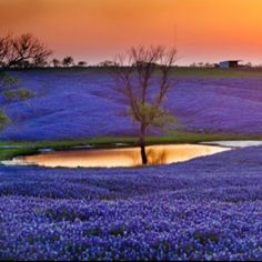 A field of Bluebonnets in Texas.....gorgeous view and sunset-SR