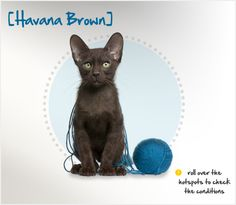Did you know that although the name may suggest it originated in Cuba, the ancestors of the Havana Brown actually emerged in Thailand before being brought to England and Europe in the 1800s? There, it was bred as a chocolate brown strain of the Siamese cat. Learn more about this beautiful breed with stunning jade green eyes at the Petplan pet insurance website: http://ow.ly/9xi16