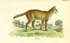 Antique print: picture of Serval - Felis serval