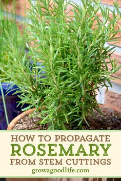 Fresh Rosemary is one of the most flavorful and fragrant herbs! Visit to see how to take cuttings and grow new rosemary plants. Fresh Rosemary is one of the most flavorful and fragrant herbs! Visit to see how to take cuttings and grow new rosemary plants. Diy Gardening, Container Gardening, Organic Gardening, Vegetable Gardening, Growing Herbs, Growing Vegetables, Herb Garden, Garden Plants, Rosemary Herb