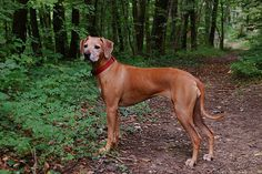 There's Something About These Dogs! ~ Rhodesian Ridgeback