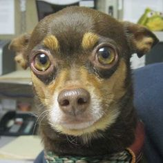 For goodness sakes, someone #adopt this darling #Chihuahua! His name is Max and if he continues looking at us like this, our hearts are going to melt all over the floor!