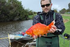 "ABC News sur Twitter : ""#ICYMI: Giant goldfish threatening freshwater species in…"
