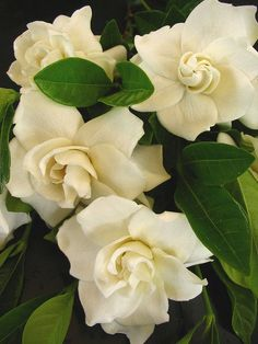 Gardenias. Ah, I can almost smell the sweet aroma.