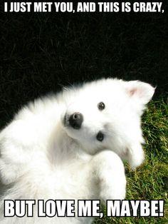 American Eskimo pup