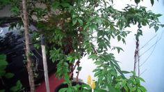 Jabuticaba em vaso # Frutas em vaso 6  Comparação de 2 floradas