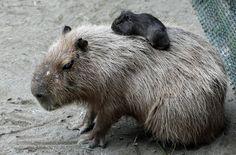 I've pet a wombat. I don't know why but I love them.