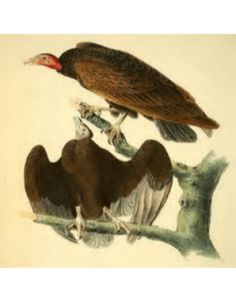 Birds of America Vol. 1 John James Audubon and J.B. Chevalier Red-Headed Turkey Vulture  Open Library Read: Online, PDF, ePub, Kindle. Awesome!!