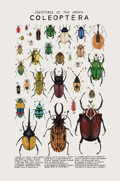 Creatures of the order Coleoptera, 2016. Art print of an illustration by Kelsey Oseid. This poster chronicles 31 beetles from the vast insect order, Coleoptera.   Print measures 12x18 inches. Printed in Minneapolis on acid free 80# Mohawk Superfine cover.  Packaged rolled with kraft tissue in a protective tube.