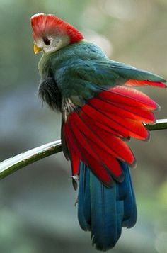 The Red-crested Turaco (Tauraco erythrolophus)