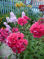 """Gallery.ru / Yulia57 - Альбом """"Цветы в моем саду..."""""""