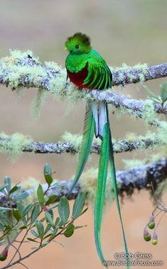 Resplendent Quetzal ~ Such beautiful colors