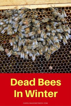 Finding dead bees in Winter is especially hard for new beekeepers. Why did the bees die? What can you do to help your bees survive through Winter. Dead Bees, Bee Hive Plans, Beekeeping Equipment, Beekeeping Supplies, Raising Bees, I Love Bees, Backyard Beekeeping, Bee Friendly, Save The Bees
