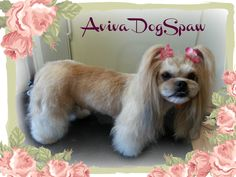 Lhasa Apso Asian Style, dog groomer in Coquitlam