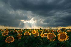 "Sunflower landscape photo print - stormy sky - sunbeams - home wall decor - poster - ""Glory IV."" by Zsolt Zsigmond (realityDream) - SKU0048"