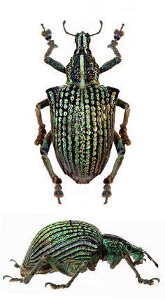 Entimus nobilis  a genus of broad-nosed weevils belonging to the true weevil family CURCULIONIDAE,  and subfamily Entiminae.