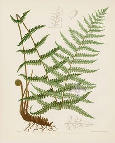 Asplenium Thelypteroides from Antique Fern Lithographs