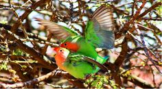 Even Rosy-faced Lovebirds sense that Valentines is around the corner! Comment if you have a great idea for a caption. Click the image to view a unique gift idea for Valentines. Photo: Chantelle Bosch
