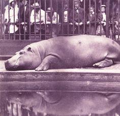 Juan Carlos Maria Isidro, Count de Montizon de Borbon's hippo, circa 1852, is one of the earliest images taken at London Zoo.