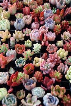 Succulent seedlings
