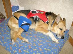 Do you and your vet know the latest developments in pain management for your #tripawd?