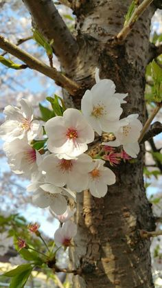 it is springtime :-) Flowers Nature, Exotic Flowers, Amazing Flowers, Colorful Flowers, Spring Flowers, White Flowers, Beautiful Flowers, Flor Magnolia, Spring Blossom