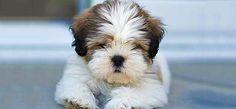 Canis de Lhasa Apso | Cachorro Ideal bem parecido com meu Bidu.