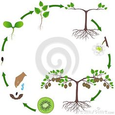 Life cycle of a kiwi plant on a white, beautiful illustration. Fruit And Vegetable Storage, Flashcard, Maria Montessori, Plant Illustration, Life Cycles, Botany, Agriculture, Alphabet, Preschool