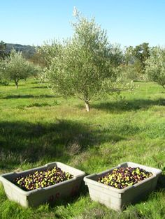 We decided to walk the property and ended up picking some olives.............