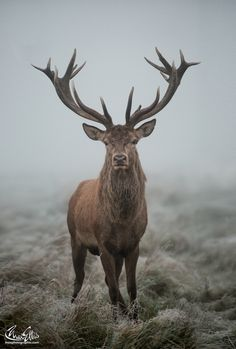 Packlight-Travelfar wolverxne:Close Encounters Of The Foggy Kind - by: { Max Ellis } Nature Animals, Animals And Pets, Funny Animals, Cute Animals, Deer Pictures, Animal Pictures, Wildlife Photography, Animal Photography, Hunting Photography