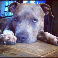 Kali #bluenose #pitbull #gottiline