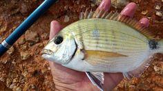 Ψαρεμα Σαργου Fish, Pets, Animals, Animales, Animaux, Pisces, Animal, Animais, Animals And Pets
