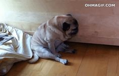 This pug who just needs a few more minutes, Mom:   13 Pets Who Are Hitting The Three O'Clock Wall