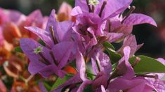 'Silhouette' A more compact, bushy bougainvillea, this violet variety pairs nicely with 'White Stripe. Bougainvillea, Exotic Flowers, Yard Landscaping, Garden Inspiration, Planting Flowers, Lush, Vines, Backyard, Landscape
