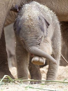 Elephant calf Best Picture For albino animal wallpaper For Your Taste You are looking for something, Happy Elephant, Asian Elephant, Elephant Love, Elephant Art, Elephant Images, Elephant Gifts, Elephants Photos, Save The Elephants, Cute Baby Animals