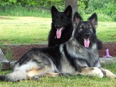 shiloh shepherd photo | International Shiloh Shepherd Dog Club, Inc. [ISSDC] | About