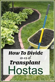 How To Divide & Transplant Hostas - Separating large hosta plants is the perfect way to get free plants for your garden, but the trick is knowing how to divide and transplant hostas correctly! #LandscapingIdeas