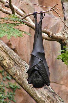 Flying Fox Bat - Nap Time