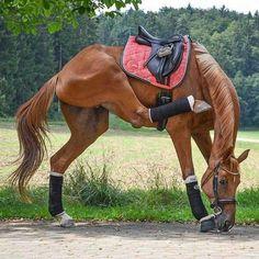 Gotta scratch when you gotta itch Photo b Show Jumping Horses, Show Horses, Most Beautiful Animals, Beautiful Horses, Friesian Horse, Andalusian Horse, Arabian Horses, Horse Markings, Horse Anatomy