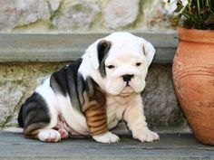 Puppies for sale, Puppies Classifieds for sale - PetSale Inc