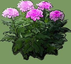 Chrysanthemum If 'Helena Orchid' Puzzle, Chrysanthemum, Orchids, Drawings, Plants, See Through, Photos, Puzzles, Riddles