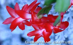 Question: My Christmas cactus appears to be very healthy, but its buds drop off. What is the cause of this? Answer: Overwatering, as plants come into bloom, will cause Christmas cactus to drop its buds, as will insufficient water. Exposure to drafts, proximity to a heat source and lack... #fal #win