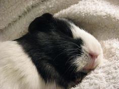 Jippie ~ The Guinea Pig Daily