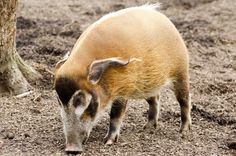 river animals pictures | Red River Hog - Animals by George Hodan