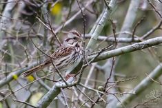 Song Sparrow | - Trails behind neighbrohood, Austin, TX | belen bilgic schneider | Flickr Song Sparrow, Pictures Of The Week, Schneider