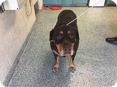3/10/17*****Urgent! High Kill Shelter-Long Beach, CA - Senior-Rottweiler Mix. Meet ROSALIE, a dog for adoption. http://www.adoptapet.com/pet/17558944-long-beach-california-rottweiler-mix