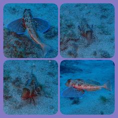 I'm a fish but I have crab legs and wings. Get over it! / Soy un pez pero tengo alas y patas de cangrejo. Supéralo!  Rubio (Chelidonitchys Lastoviza)  #nofilter #underwater #olympustg4 #sea #fish #sealife #blue #scuba #animals #ocean #mar #underwaterphotography #peces #animales