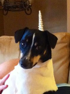 My sweet baby- rat terrier, Jackson David :)